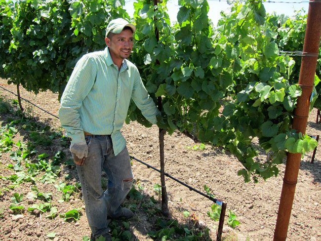 Canopy Management  sc 1 st  Romero Vineyard Management u0026 Services | Napa Sonoma & Canopy Management - Romero Vineyard Management u0026 Services | Napa ...